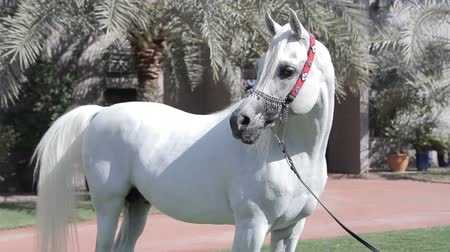 temperament : White Arab horse stays on a green meadow