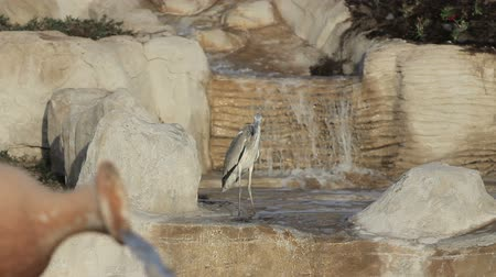 painted stork : Milky stork bird in a lake in front of a waterfall with lake