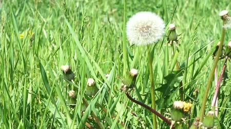 White dandelion head blowball on green grass field background