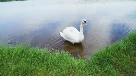 White swan in water taking food from someone Стоковые видеозаписи