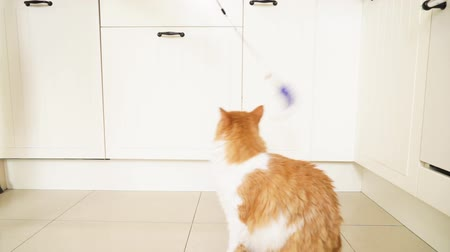 ginger fluffy cat playing with toy