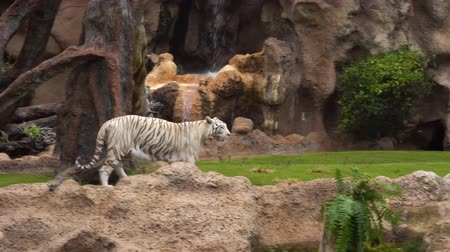 гул : Two white tiger walking in garden near water fall Стоковые видеозаписи