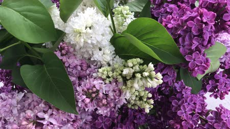 Bunch of fresh lilac flowers in vase shaking on wind Stok Video