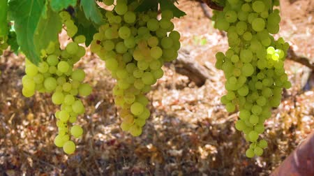 Vineyard green rows with growing white grape, Spain