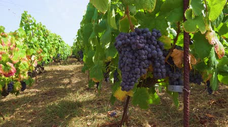 spaanse wijn : Vineyard green rows with growing ripe of red grape, Spain Stockvideo