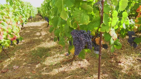 parreira : Vineyard rows with growing ripe of red grape, Spain