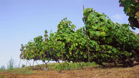 spaanse wijn : Vineyard green rows with growing ripe of red grape under blue sky, Spain Stockvideo