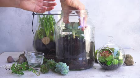 glass mason jar with plants inside, indoor gardening Do It Yourself, someones hands planting succulents, timelaps Stok Video