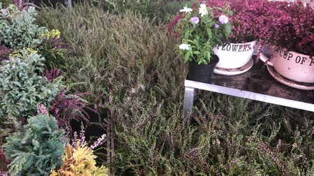 Watering heather and other fresh fall flowers in garden center