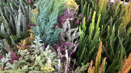 капуста : heather flowers, pine trees, cabbage and other autumn plants background