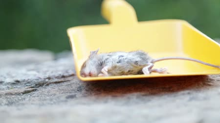 presented : Dead mouse presented in yellow scoop Stock Footage