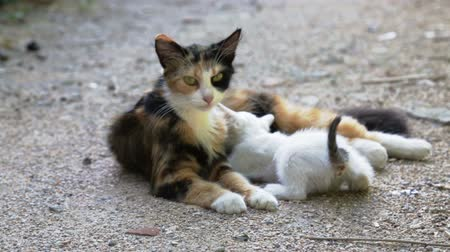 gato selvagem : stray cat mother cleaning kitten on street Stock Footage