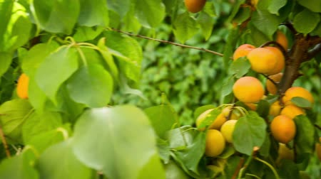 vila : organic peaches grow in village in soth of france