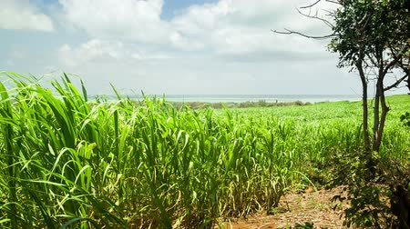 тростник : Sugar cane field with seaside on background