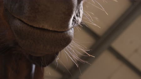 poník : A close-up of a horse snout