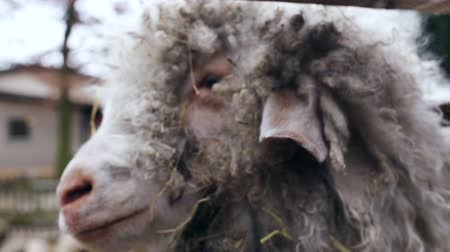 rústico : A ram looks at the camera. The ram is filmed from close-up. Stock Footage