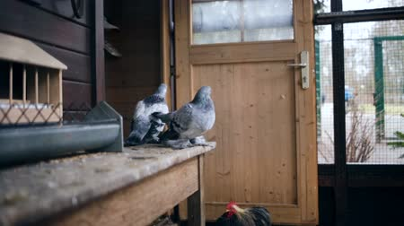 hay cock : Fancy Pigeons and a Rooster in a coop. Two pigeons side by side and a rooster on the floor. Stock Footage