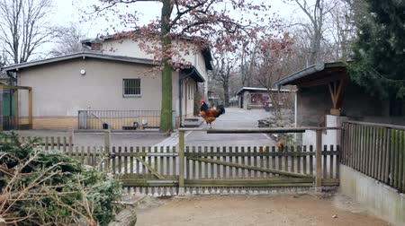 rústico : A wide-shot of a rooster perched on a wooden fence.