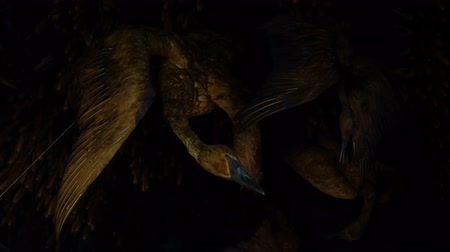 korszak : A still life of geese hanging upside down from a beam with dried corn. Close up. Stock mozgókép