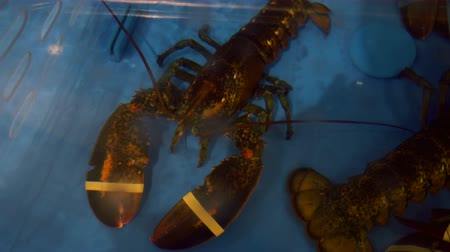 омар : A lobster and its kin in a restaurants aquarium ready for consumption. Overhead.