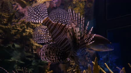 espécime : A shot of a gorgeous lionfish specimen swimming in an aquarium. Close up.