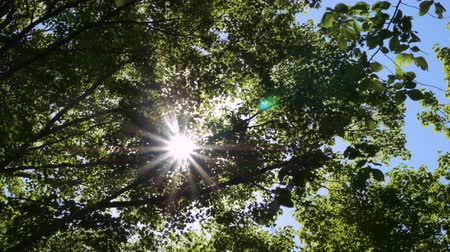 yemyeşil bitki örtüsü : Sunlight shines brightly in between the leaves of maple trees. Low angle.