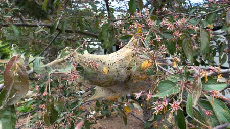 hnízdo : A tent caterpillar cocoon between blossoming tree branches. Close up.