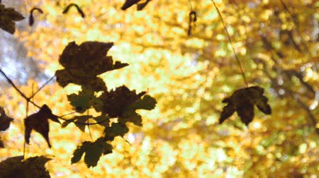 yellowish green : A canopy of yellow autumn foliage. The tree leaves have turn a golden yellow. A few green leaves in the front. Low angle. Stock Footage