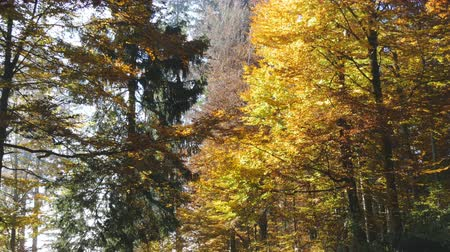 yellowish green : An autumn forest in Switzerland. Colorful nature at its prettiest during a warm autumn day.