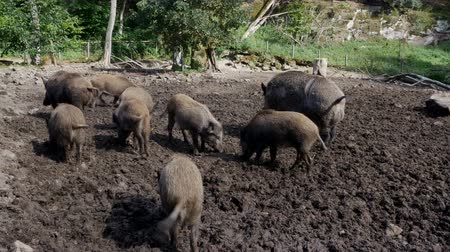sty : A herd of pigs in a muddy outdoor sty. Stock Footage