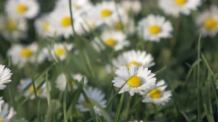uncultivated field : Close up of daisies in a field. Camera moving above a fresh wildflowers. Extreme close up.