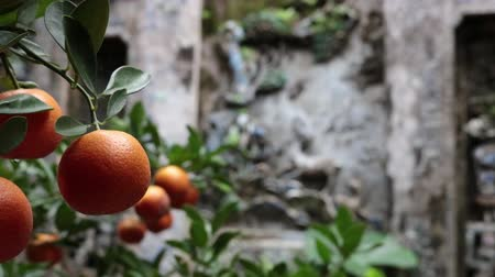 Ripe Vietnamese mandarins on tree branches and ancient wall carving in the background. Rack focus. Stok Video