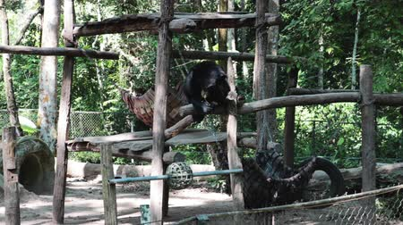 cativeiro : Sun bear enjoying a meal seated on wooden planks in an outdoor zoo. Long shot.