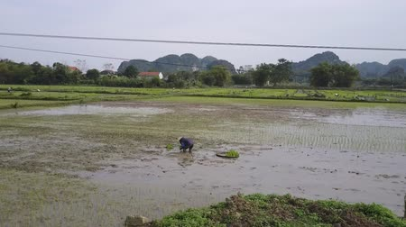 ninh : Worker planting rice in a paddy field. Flying low over a rice field with mountains in the background. Drone shot.