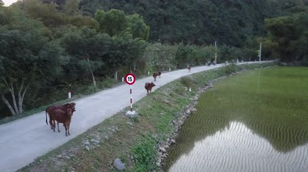 ninh : Cows standing on a rural road in Northern Vietnam. Drone shot. Stock Footage