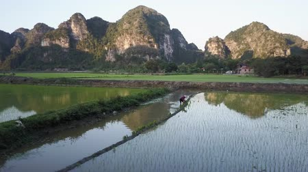 ninh : Flying towards a worker planing rice in a paddy field in Ninh Binh, Vietnam. Drone shot.