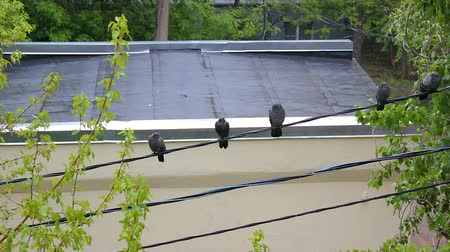 drůbež : Pigeons sit on a cable in the rain against a wet roof background