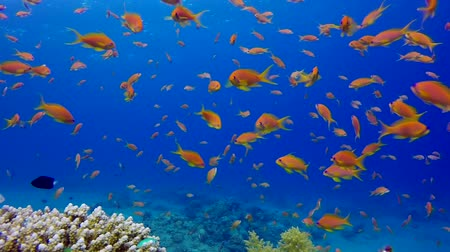 vízi : Tropical underwater sea fish. Underwater fish reef marine. Soft and hard corals. Underwater fish garden reef. Reef coral scene. Coral garden seascape. Colorful tropical coral reefs.