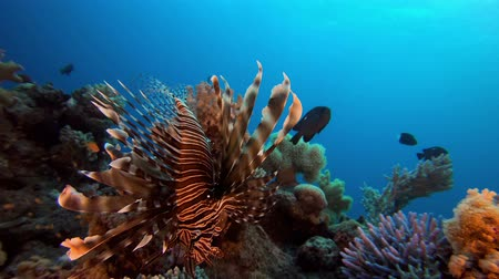 blue red : Tropical underwater fish reef marine lion-fish (Pterois miles), Tropical colorful underwater seascape, Reef coral scene, coral reef, Colorful tropical coral reefs, Marine life fish garden