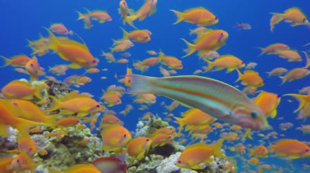 mergulhador : Beautiful Underwater Close Up Colorful Fishes. Tropical underwater sea fishes. Underwater fish reef marine. Tropical colorful underwater seascape. Underwater reef. Reef coral scene. Coral garden seascape. Colorful tropical coral reefs