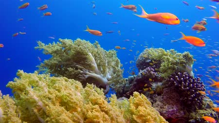 mergulhador : Blue Sea Background with Colorful Tropical Fishes. Underwater tropical colorful soft-hard corals broccoli coral (Litophyton arboreum). Underwater fish reef marine. Tropical colorful underwater seascape. Reef coral scene. Coral garden seascape. Stock Footage