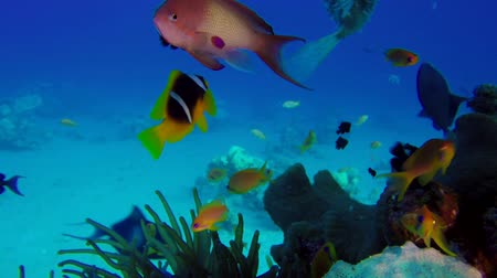 vízi : Underwater Colorful Tropical Fish and Porcupine Fish. Underwater sea fish. Tropical fish reef marine. Colorful underwater seascape. Soft-hard corals seascape. Reef coral scene. Coral garden seascape. underwater ambience coral reefs Stock mozgókép