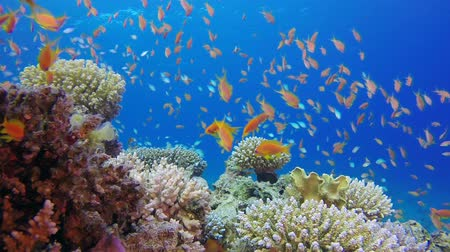 生態系 : Underwater Colorful Tropical Fishes and Beautiful Corals. Tropical underwater sea fish. Underwater fish reef marine. Soft and hard corals. Underwater fish garden reef. Reef coral scene. Coral garden s 動画素材