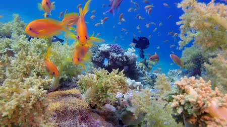 coral garden : Underwater Colorful Tropical Fishes and Beautiful Corals. Underwater colorful sea fish, Tropical reef marine, Corals tropical life, Colorful underwater seascape, Soft-hard corals seascape, Reef coral scene, Coral garden, underwater happy orange fish