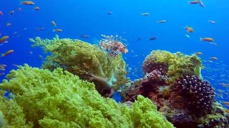 生態系 : Tropical Fishes with Lion-fish and Broccoli. Underwater tropical colorful soft-hard corals broccoli coral (Litophyton arboreum). Underwater fish reef marine. Tropical colorful underwater seascape. Ree 動画素材