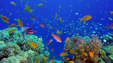 vízi : Underwater Sea Coral Reef. Tropical underwater sea fishes. Underwater fish reef marine. Tropical colorful underwater seascape. Underwater reef. Reef coral scene. Coral garden seascape. Colorful tropical coral reefs