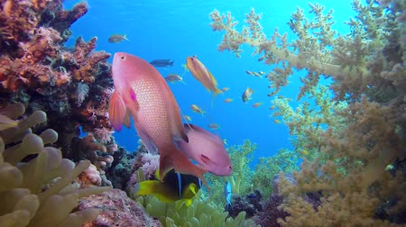 mergulhador : Beautiful Coral Garden. Underwater sea fish. Tropical fish reef marine. Colorful underwater seascape. Soft-hard corals seascape. Reef coral scene. Coral garden seascape. underwater ambience coral reefs