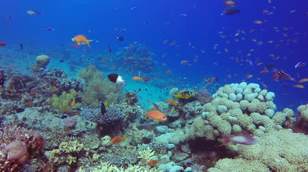 生態系 : Beautiful Tropical Coral Garden. Underwater sea fish. Tropical fish reef marine. Colorful underwater seascape. Soft-hard corals seascape. Reef coral scene. Coral garden seascape. underwater ambience c