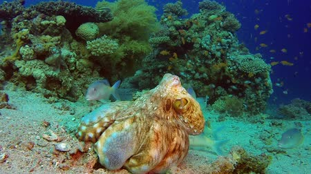chobotnice : Octopus Fishing. Underwater tropical big red octopus (Octopus cyanea). Underwater fish reef marine. Tropical colorful underwater seascape. Reef coral scene. Coral garden seascape. Colorful tropical coral reefs