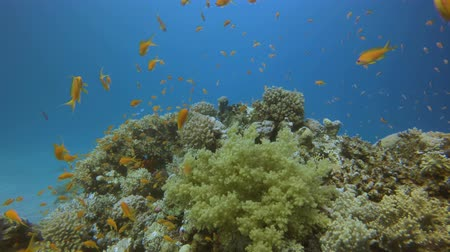ecosysteem : Beautiful Underwater Colorful Life. Underwater sea fish. Tropical fish reef marine. Colorful underwater seascape. Soft-hard corals seascape. Reef coral scene. Coral garden seascape. underwater ambience coral reefs